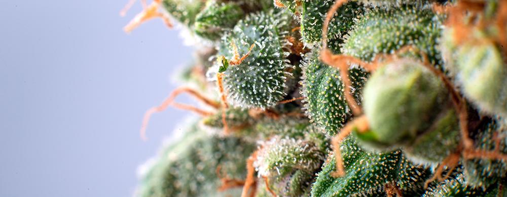 cannabis-resina-cogollo-cbd-cannabidiol-cannabity