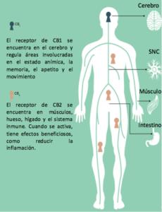 El Cannabis en nuestro organismo