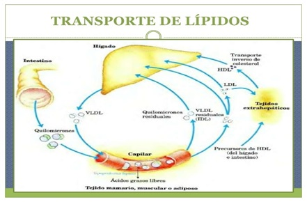 tissue membranes and carry cholesterol to the liver